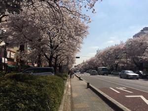 国立桜並木